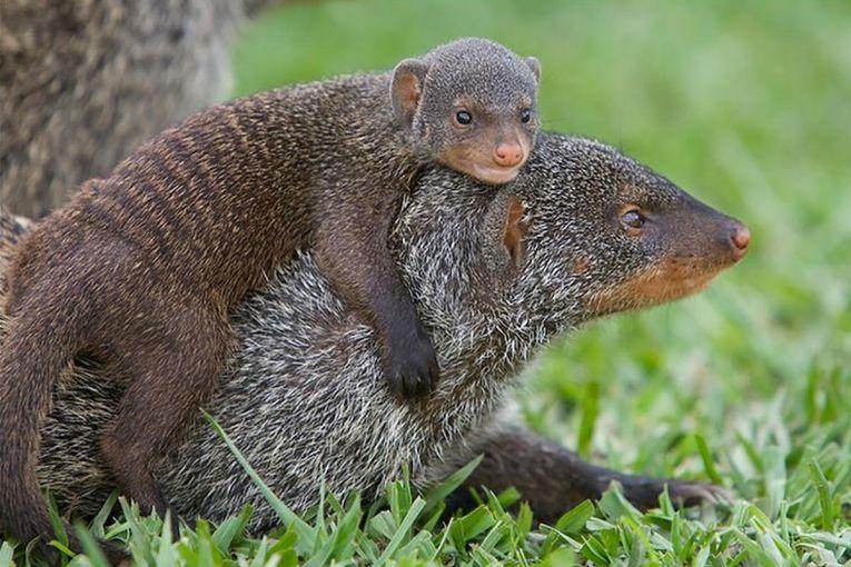 "Mongoose the Hawaiian ""squirrel"" Animals, Fun facts"