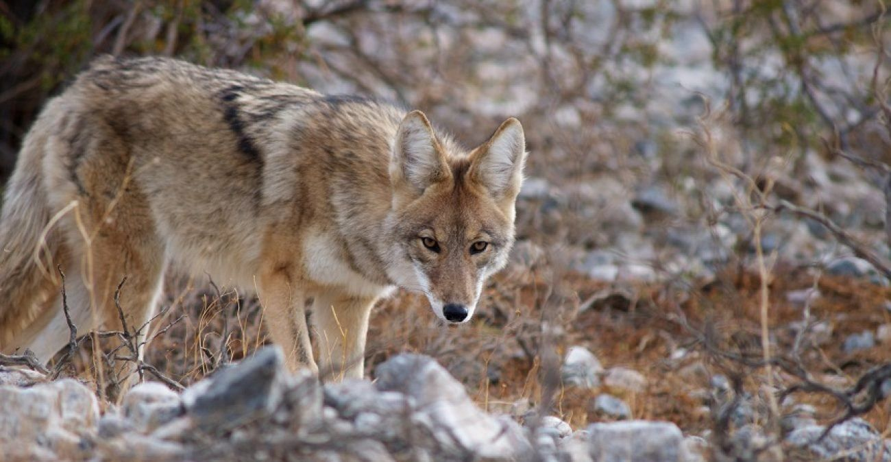 Coyote hunting 101 outsmart any yote with these pro tips