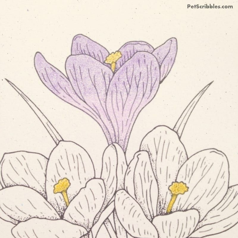 Gallery Vintage Crocus Coloring Page for Free is free HD wallpaper.