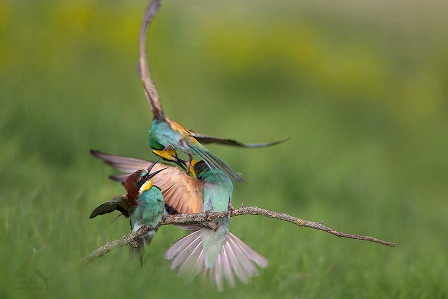 fighting bee-eater by Marion Vollborn on 500px