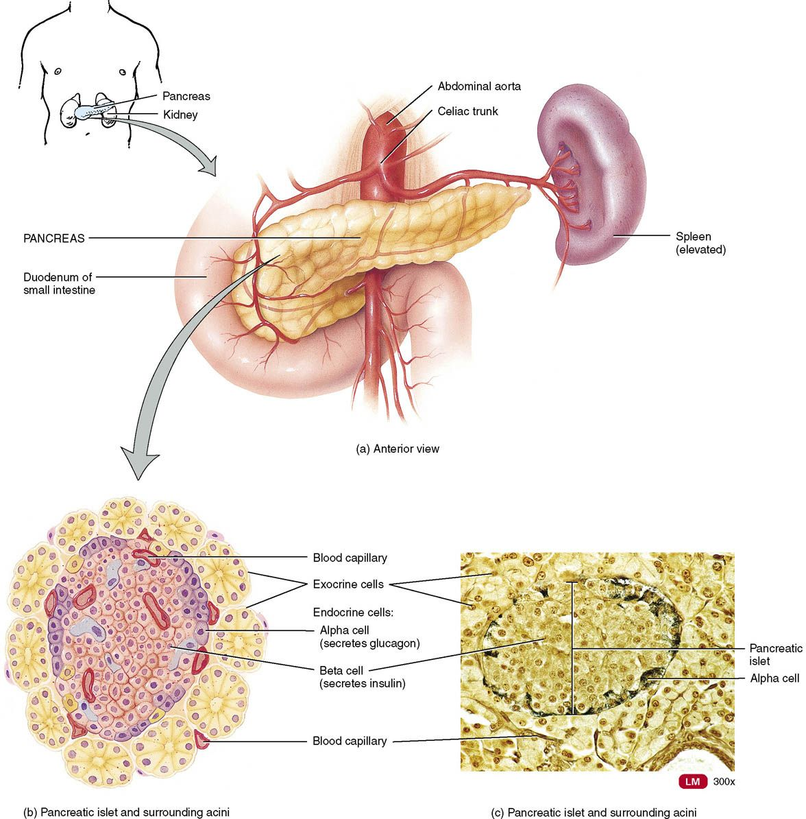 Anatomy and physiology the endocrine system | Anatomy, Physiology ...