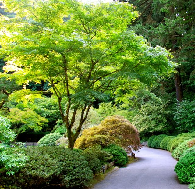 How to Grow Japanese Maples | The Garden Glove
