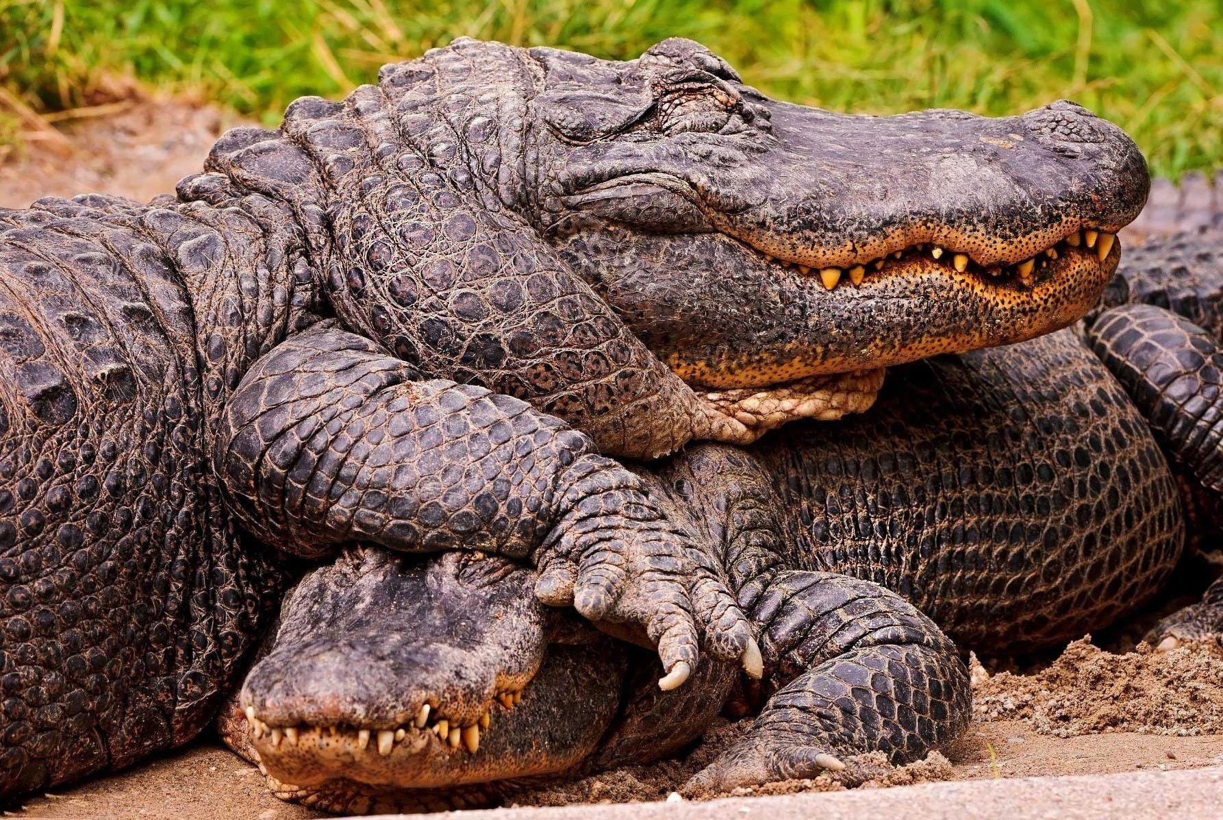 Анекдоты для, крокодил картинки
