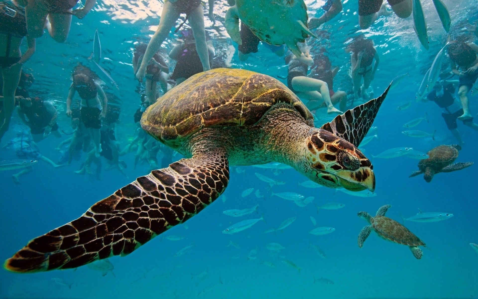 Caribbean Sea Creatures: Hawksbill-sea-turtle-turtle-underwater-ocean-caribbean-sea