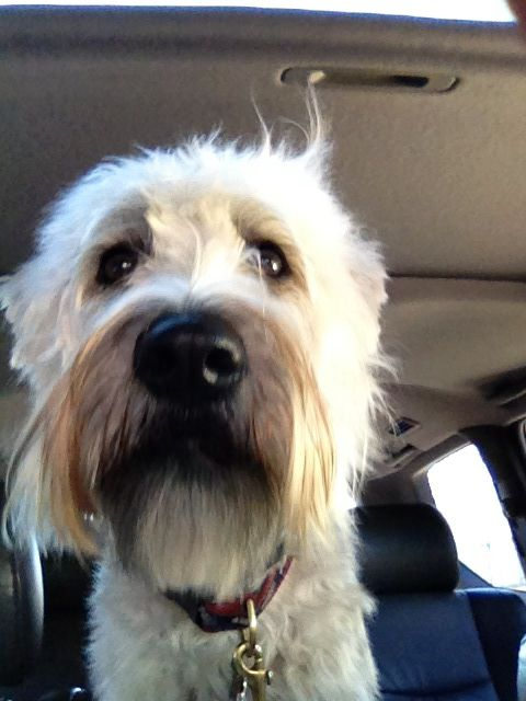 Nelly, disheveled from a run at the Westport dog park