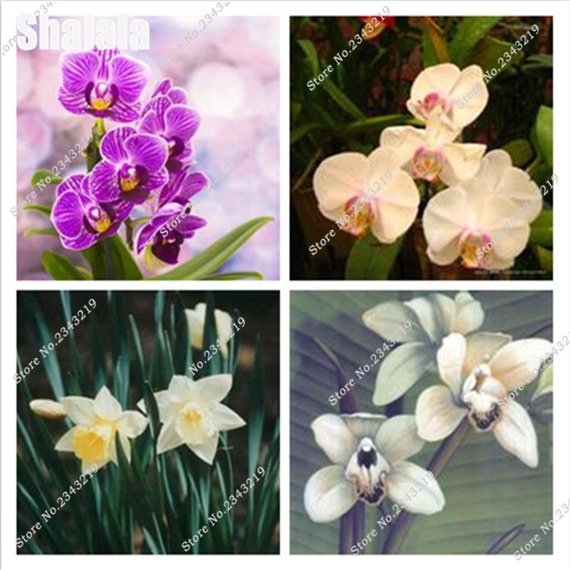 100pcs Chinese Cymbidium Orchid Flower Seeds Indoor Potted Flowers ...