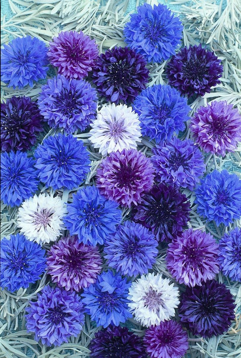 Why Do Cornflowers Fade When You Dry Them Dried Flower Crafts Dried Flowers Flower Pictures Pretty Flowers