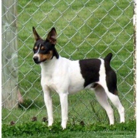 Clearbrook Kennels Rat Terriers Terrier Dog Breeder