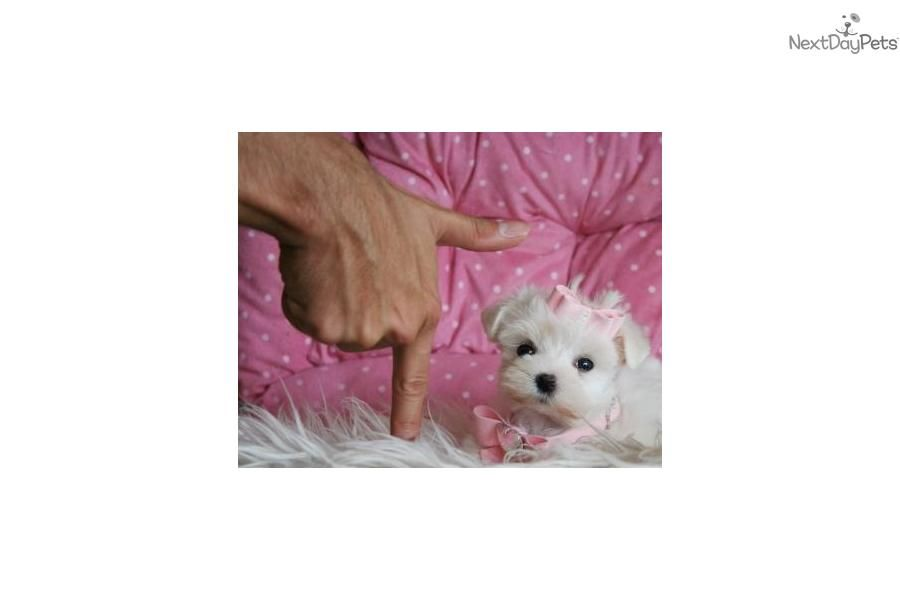 Super tiny puppies for sale teacup puppies and puppies