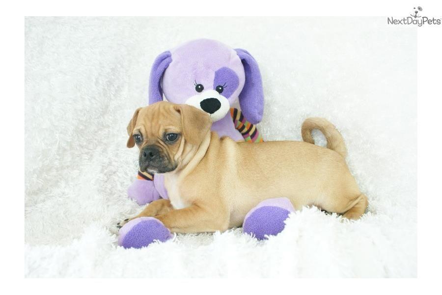 Puggle puppy for sale near Springfield, Missouri   b3bcd3e3