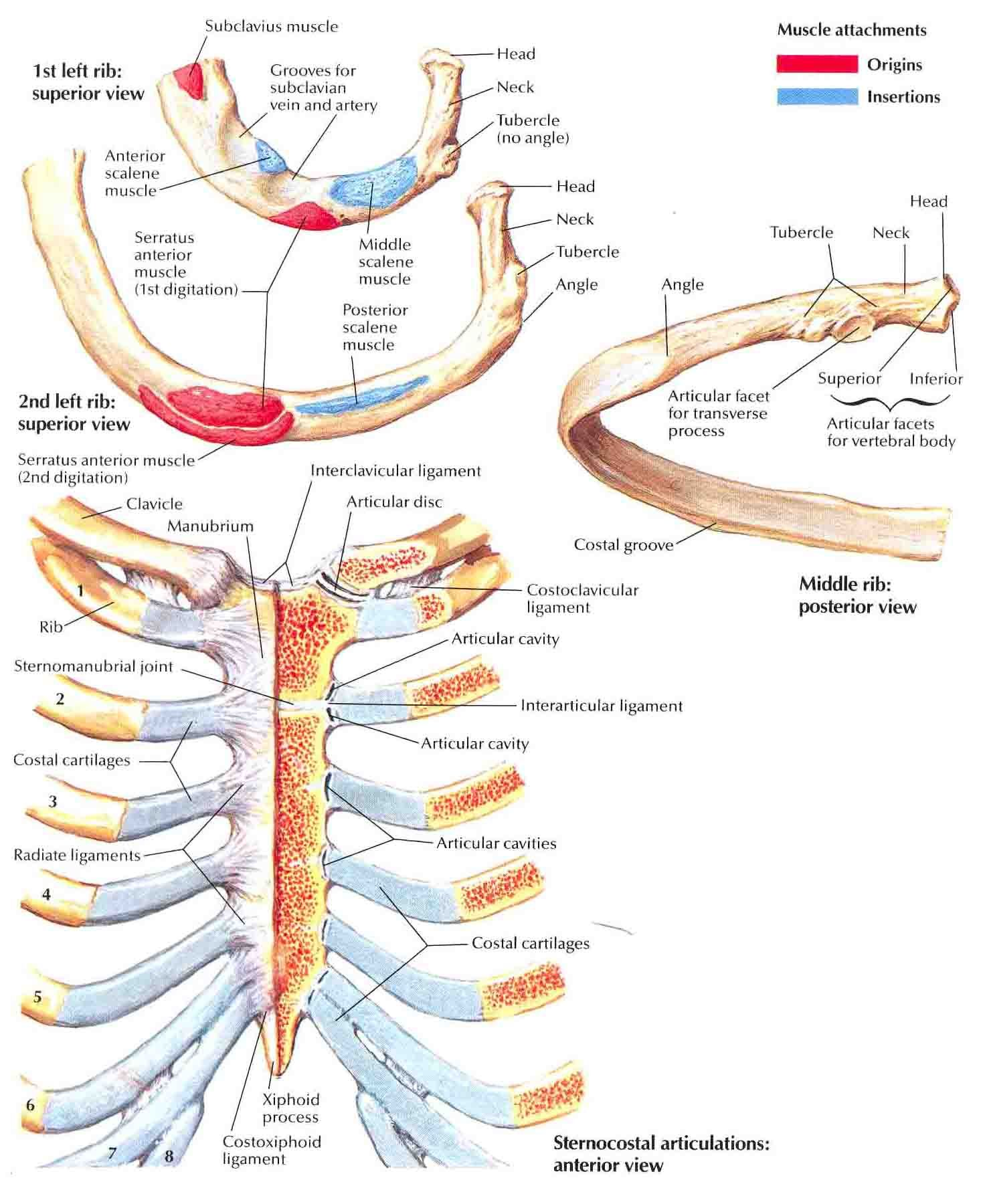 ribs-and-sternocostal-joints.jpg (1472×1800) | Anatomy | Pinterest ...