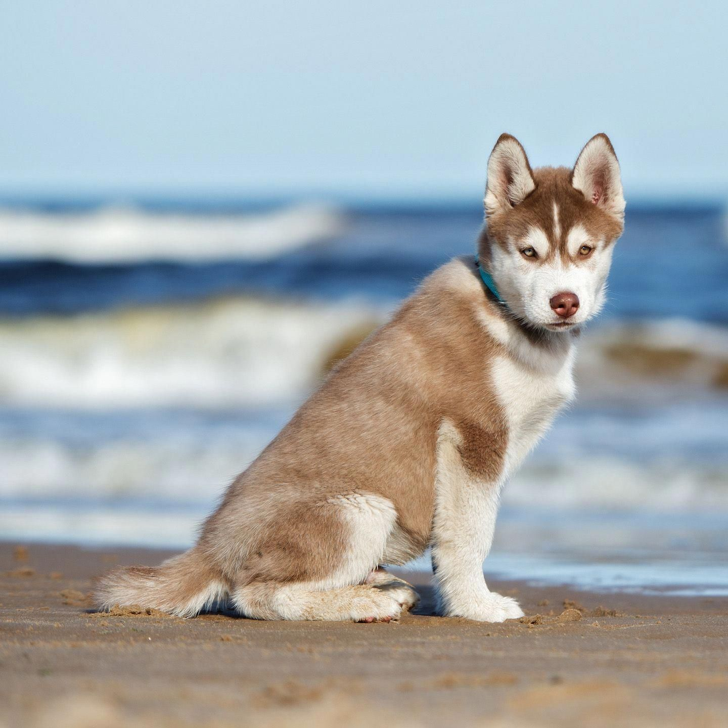 More About Bold Siberian Huskies Pup Temperament