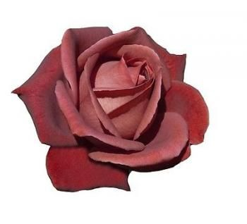 Pianta di rosa TERRACOTTA meilland rosai rosaio fiori piante rose giardino bord - Piante di Rose in Vaso - Piante & Giardinaggio - Negozio Online - Garden Flora
