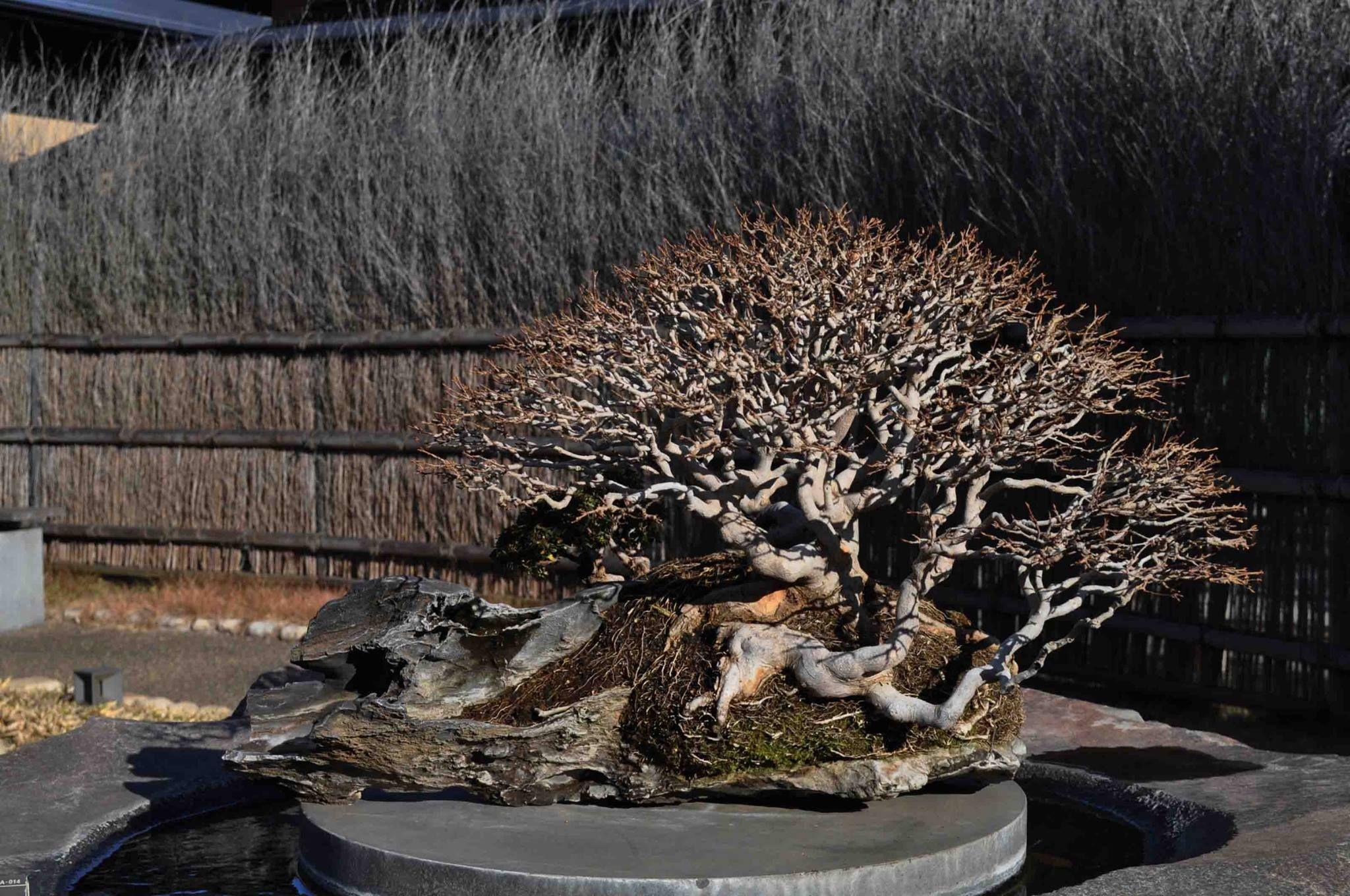 The Omiya Bonsai Art Museum, Saitama - Timeline 楓(かえで Kaede) 銘:早春の譜(そうしゅんのふ Soshun-no-hu) Japanese Trident Maple Named:Soshun-no-hu