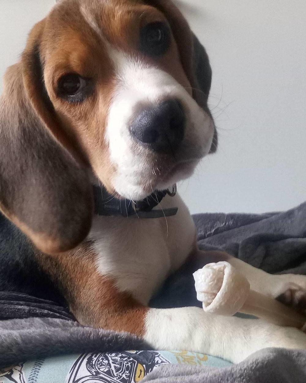 Popular Video Beagle Adorable Dog - 7a50cb1f265a7414ff643e72bc271fc3  Trends_2661  .jpg