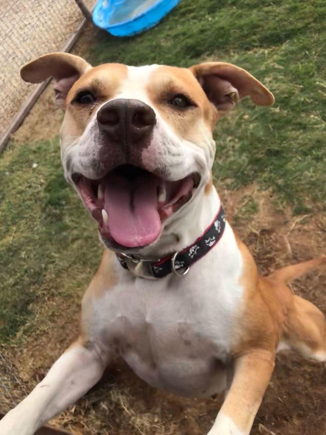 Adopt Sampson On Pitbull Terrier Pet Adoption Bull Terrier Dog