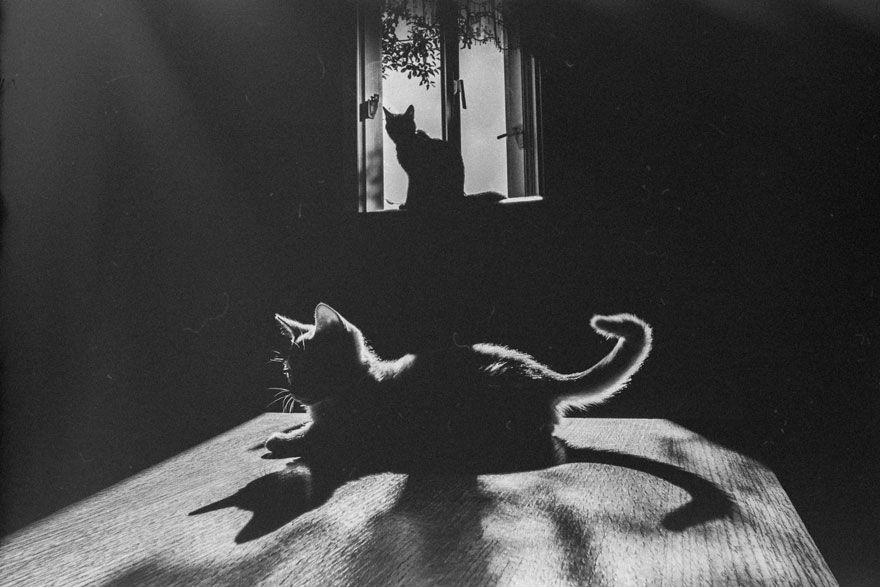"* * CAT IN WINDOW: "" Quit playin' wif yer shadow ever aware numnutz.. Dusk iz upon us and weez kin do our nightly cat creepin'."""