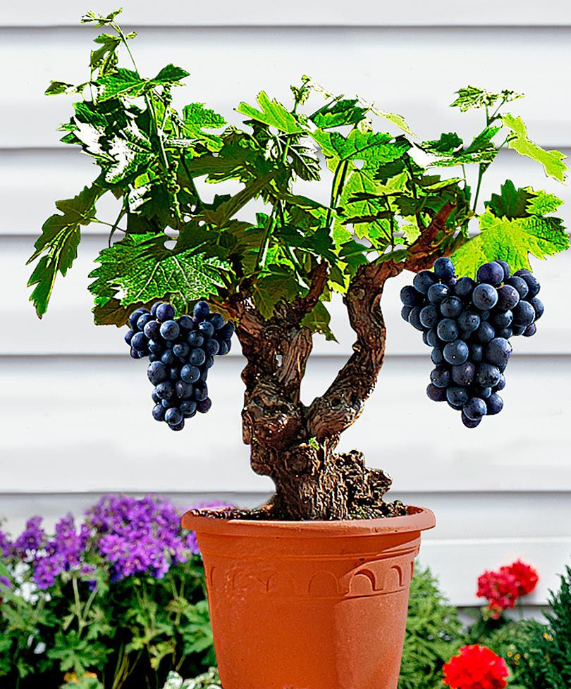 Patio Vine 'Syrah'  Vitis vinifera 'Syrah'    You don't need an orchard - you can now even grow grapes on the patio or decking with this variety. The rootstock has deliberately been kept small so that it can be planted in a pot. Order now and look forward to harvesting your own grapes!Height supplied 25-30 cm.