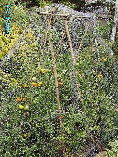 Tomato Garden With Chicken Netting To Protect From Squirrels