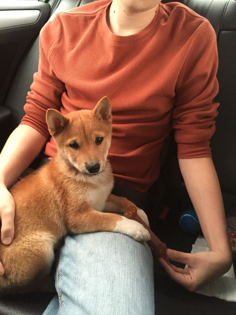 Shiba Inu pup, 3 months old | Shiba inu, Shiba inu puppy ...