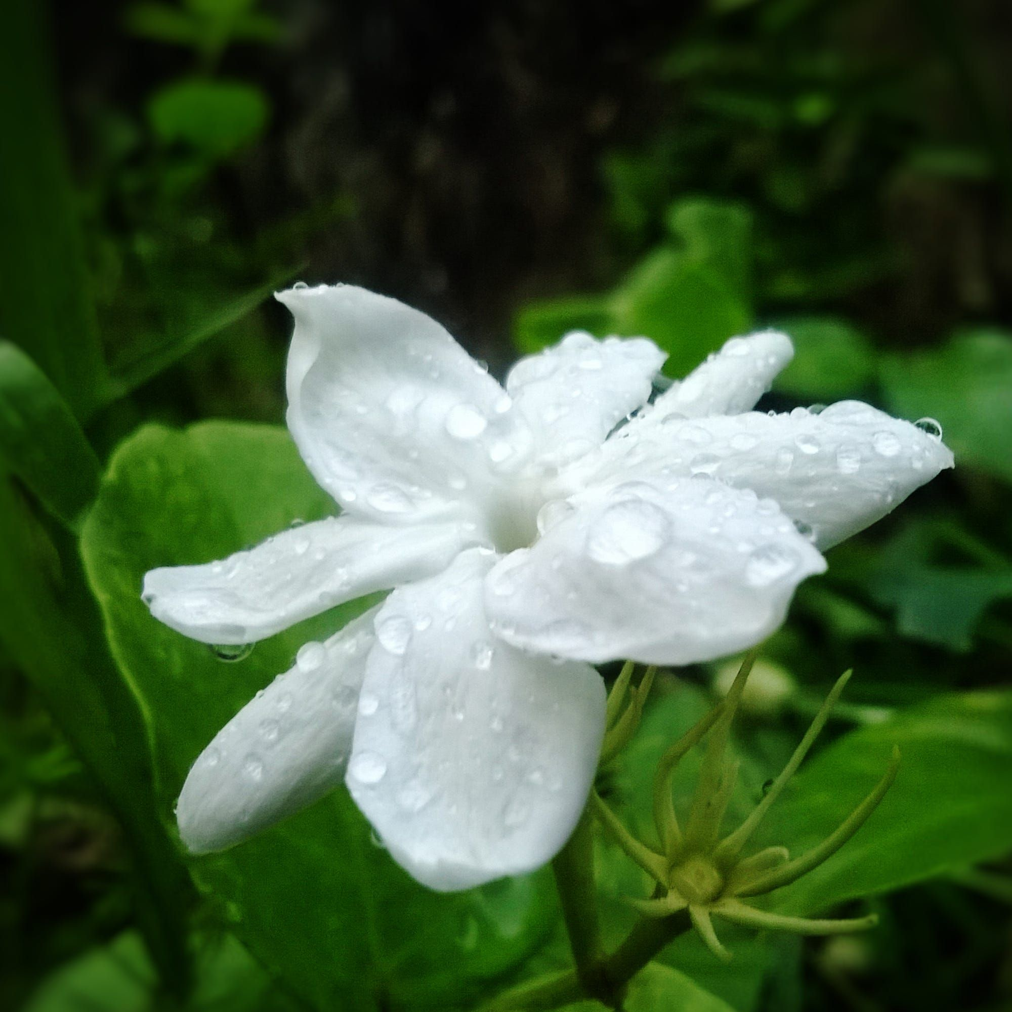 Common flower in Kerala. Captured from the garden after