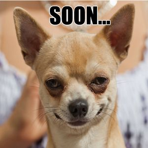 No One Suspect Evil Chihuahua Chihuahua Funny Funny Animal
