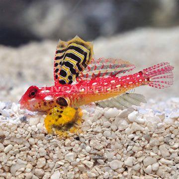 Ruby Red Scooter Dragonet Male Saltwater Fish Tanks Best Aquarium Fish Beautiful Sea Creatures