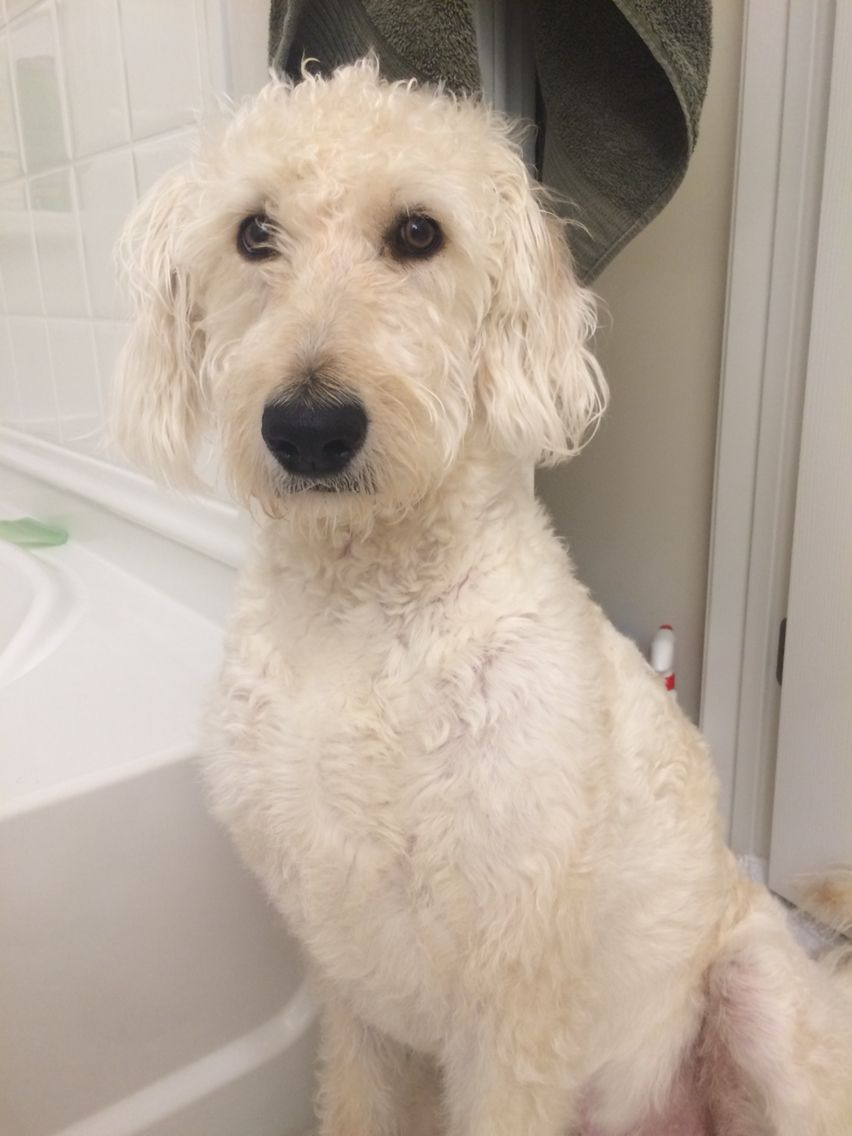 Bath time brady the labradoodle 1 year old labradoodle