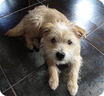 Redmond Wa Cairn Terrier Mix Meet Billy Gibbons A Dog For