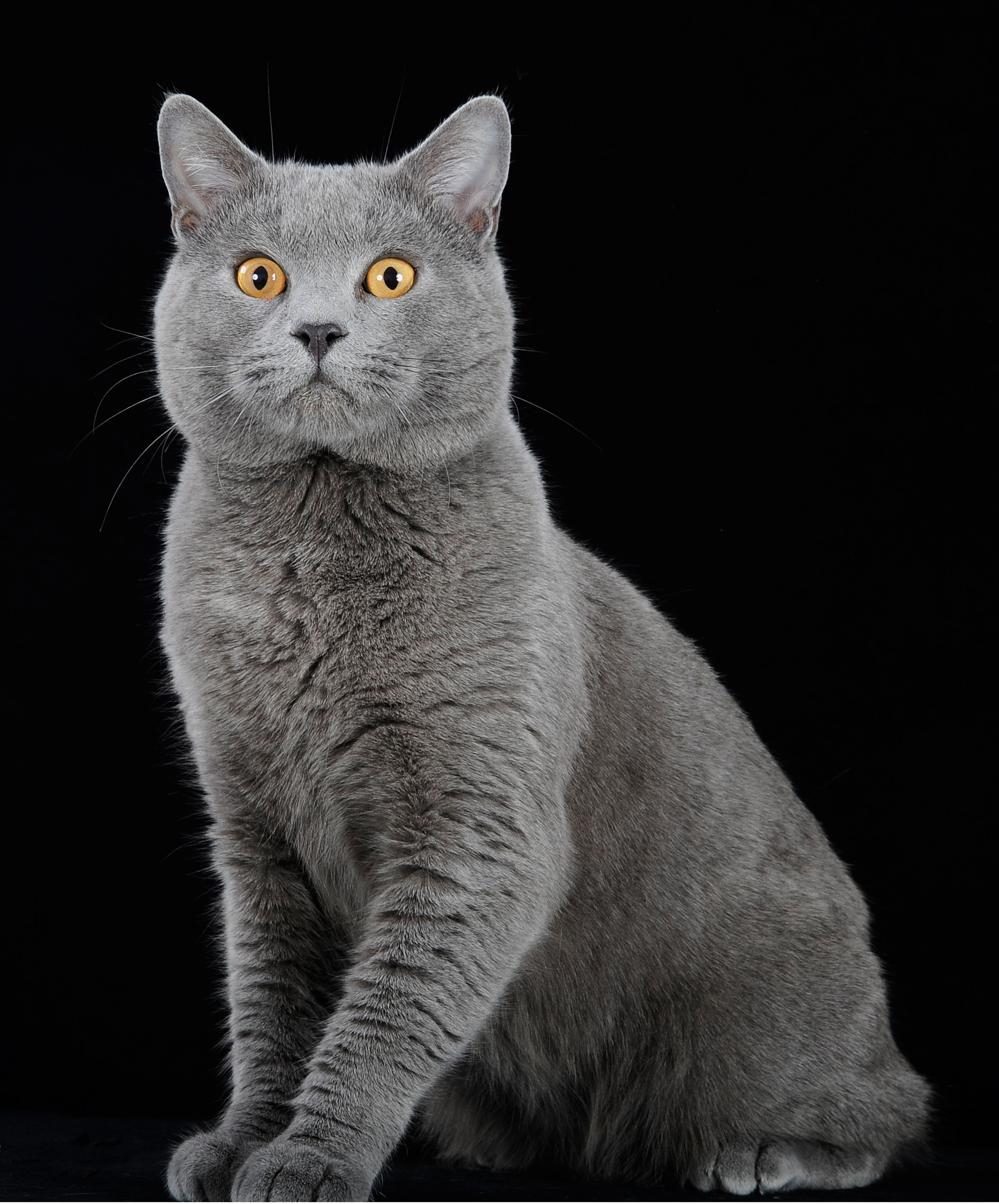 Chartreux Kittens for Sale & Cats for Adoption Chartreux