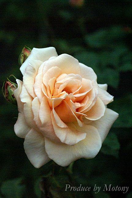 Rosa floribunda 'Apricot Nectar'   Zon III. Mycket stora, utsökt vackra aprikosfärgade blommor. Stark, fruktig doft med inslag av persika. Remonterande blomning. 0.9x0.6m.