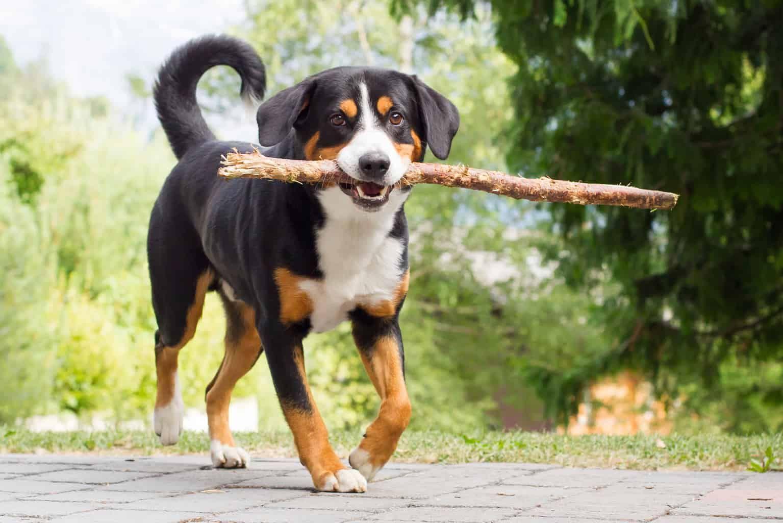 Appenzeller Sennenhund Charakter Wesen Pflege In 2020 Sennenhund Entlebucher Sennenhund Appenzeller Sennenhund