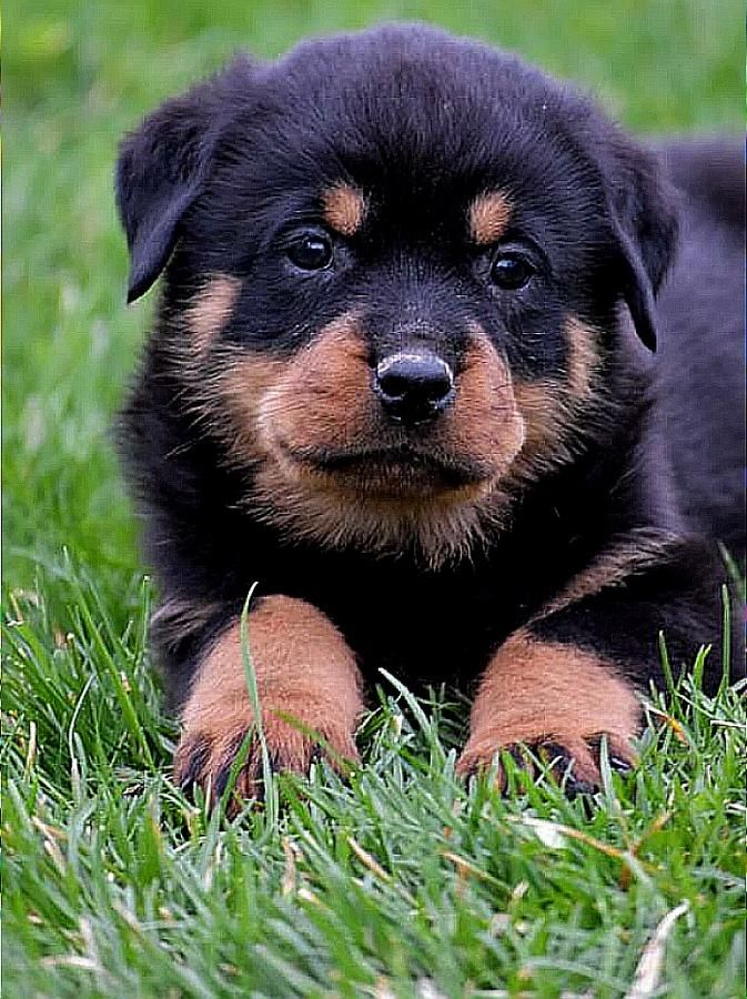 Rottweiler Puppies Word Class Puppies For Home Protection