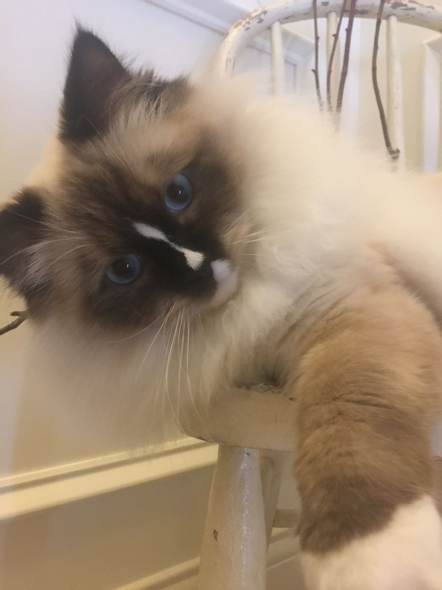 Reese Willow 9 mo old Seal Mitted w/a blaze Ragdoll
