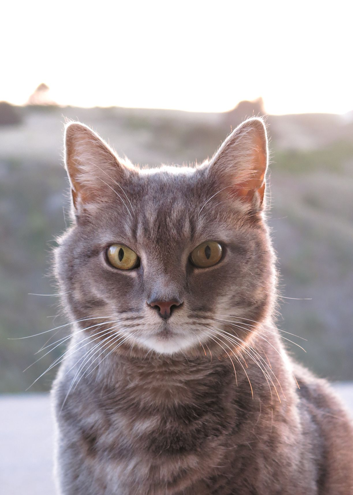 Grey Tabby Cat High Resolution Chats Gris Beaux Chats Chat