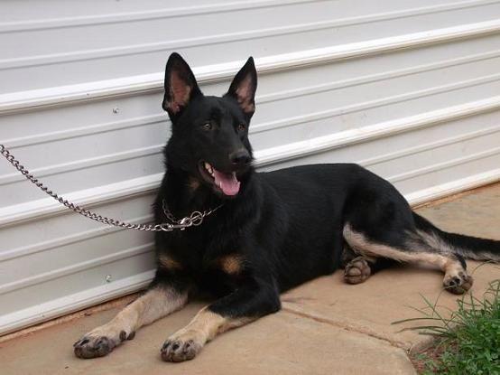 Black And Tan Or Bi Color German Shepherd Dog Forums German