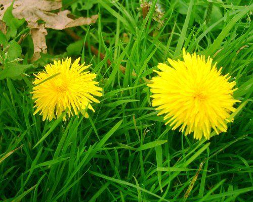 Edible plants: Dandelions