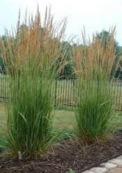 Karl Foerster Google Search Feather Reed Grass Grasses Landscaping Grass