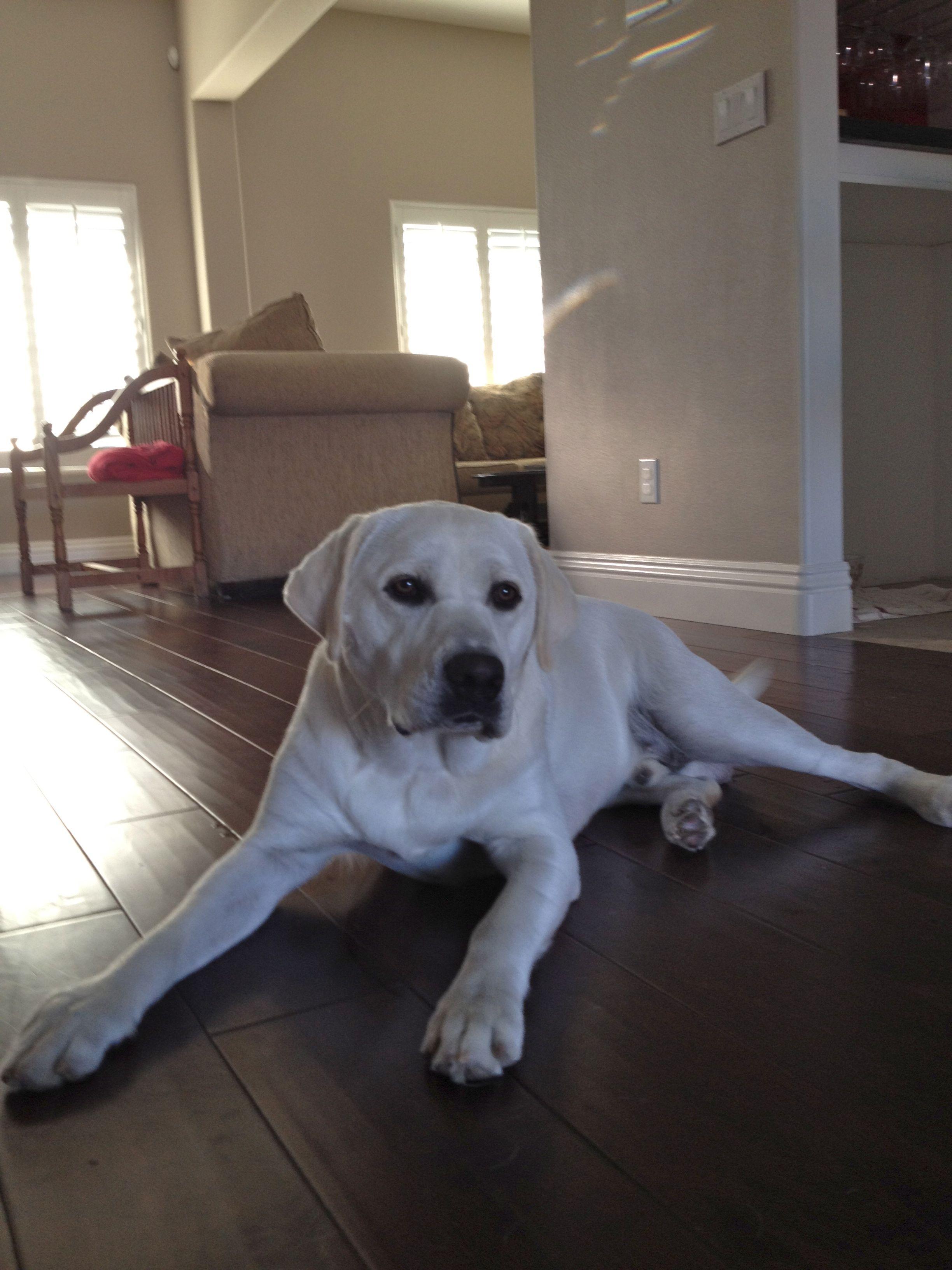 White English Labrador Mallow Now At 11 Months English Labrador Labrador Best Dog Breeds