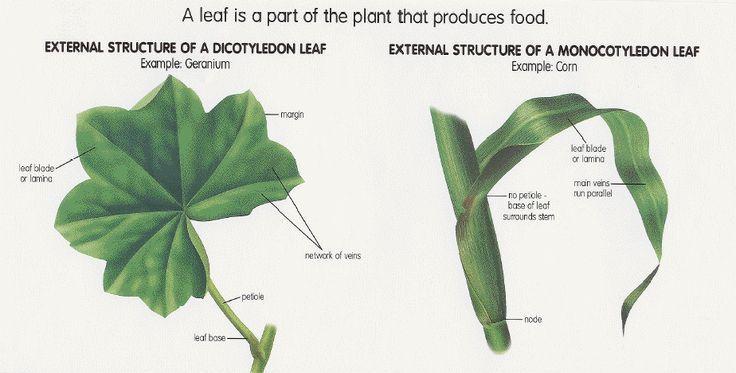 Lesson 2 Monocots Dicot Leaves Agr 180 Pinterest