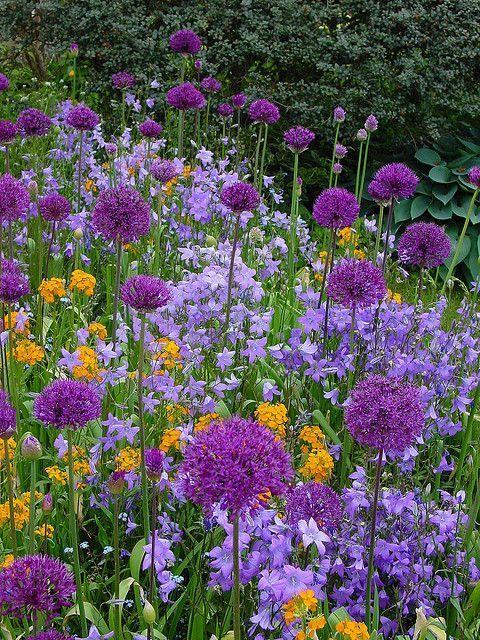 Die Violetten Blutenkugeln Des Zierlauchs Allium Passen Sehr Gut Zu Den Glockenblumen Campanula 3 Plants Flower Garden Beautiful Gardens