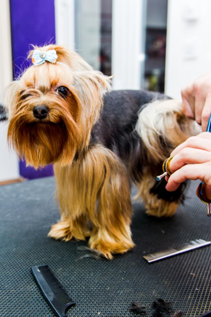 Grooming Yorkshire Terrier Professional Hairdresser Hairdresser