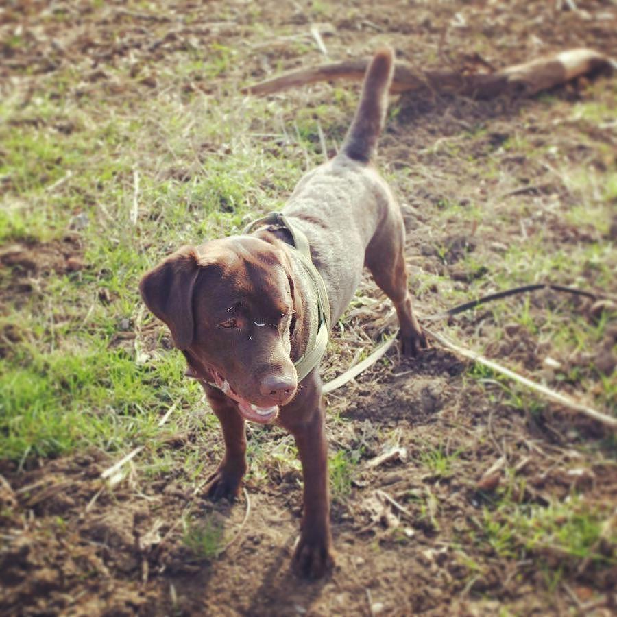 """Help I am a shrunken Labrador! Pet me to make me great again! ""  #petme #labradorchocolate #labradorofinstagram #dog #dog #dog #dog"