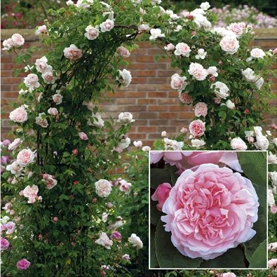 st swithun climbing rose david austin very large. Black Bedroom Furniture Sets. Home Design Ideas