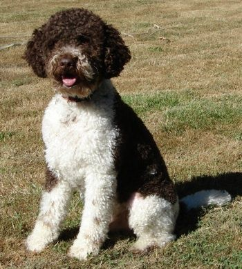 Lagotto Romagnolo From A Sub Region Of Italy Hunts For Truffles