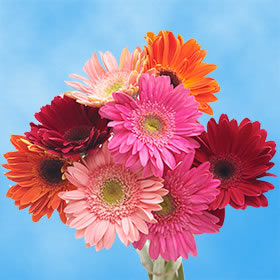 Beautiful Assorted Gerbera Flowers Gerbera Flower Flowers For Sale Online Wedding Flowers