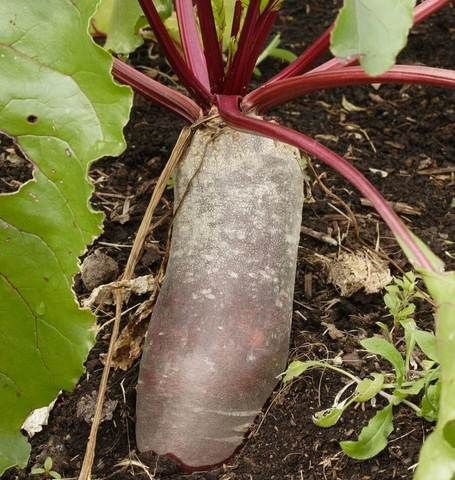 Cylindra 125G Approx 11875 Seeds Beet Seeds Plants 400 x 300
