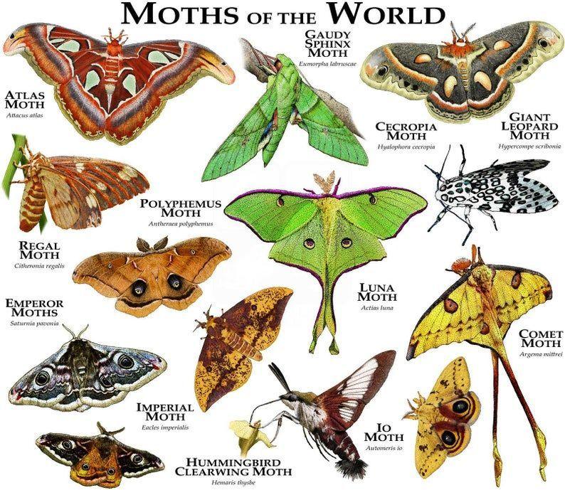 Moths Of The World Poster Print In 2020 Poster Drucken Motte Poster