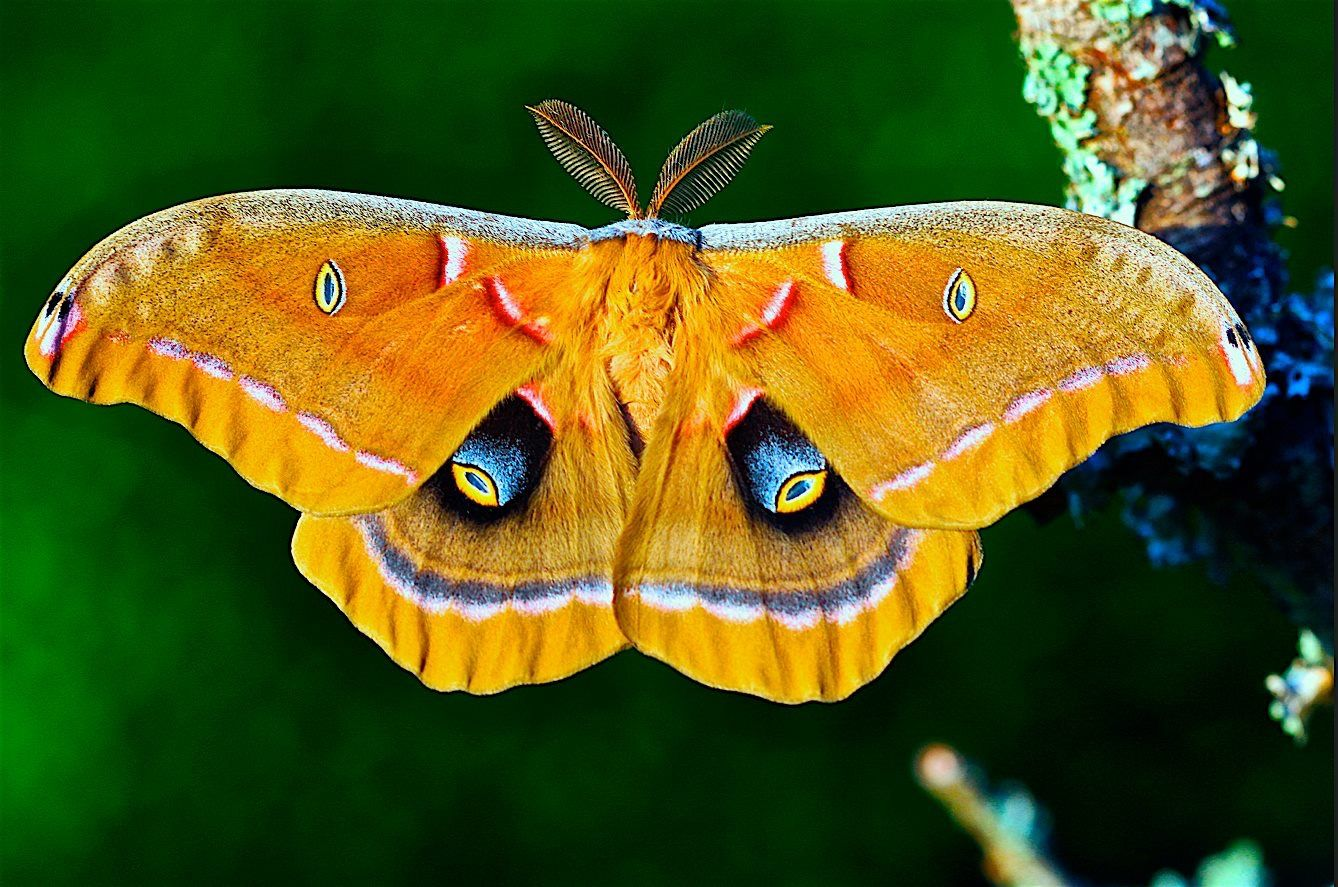 Polyphemus Moth Moth, Insects, Beautiful butterflies