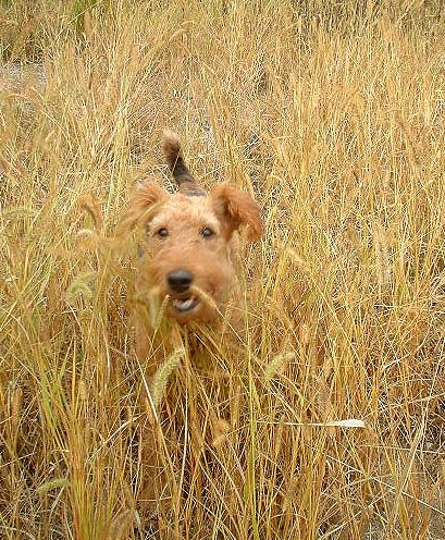 #Dorothy #AIREDALETERRIER #エアデールテリア